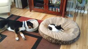 cat-bed-dog